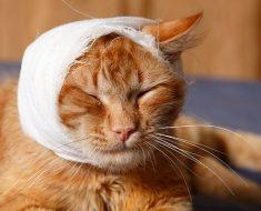Какво да Правим, ако Котката има Отворена Рана
