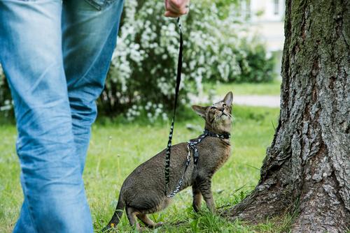 Разходката на котка, на каишка може да бъде инетересно занимание