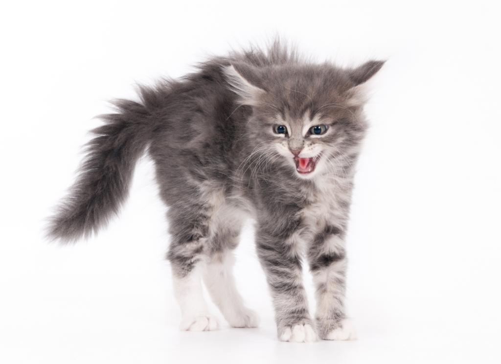 Изплашена котка с настръхнала козина и опашка