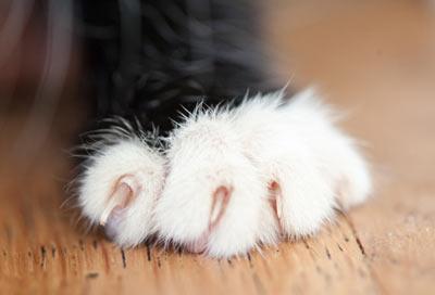Котешки нокти