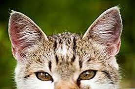 Как да лекуваме котешките уши