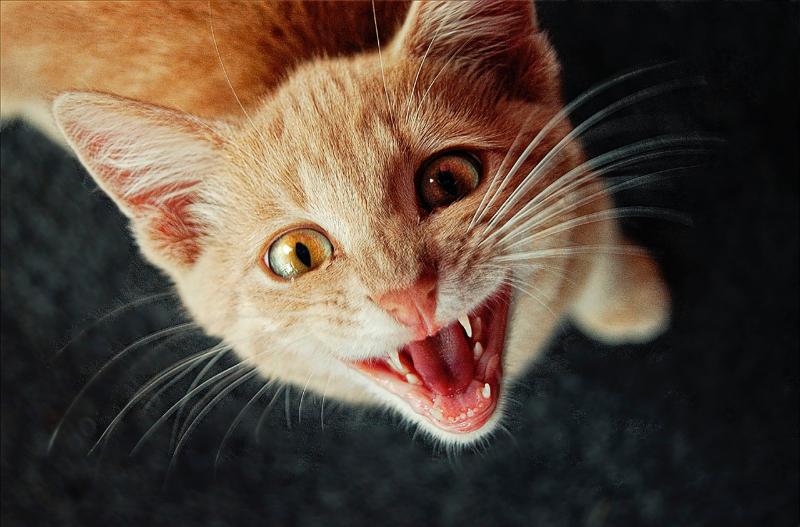 Котка, която мяукайки общува със собственика си