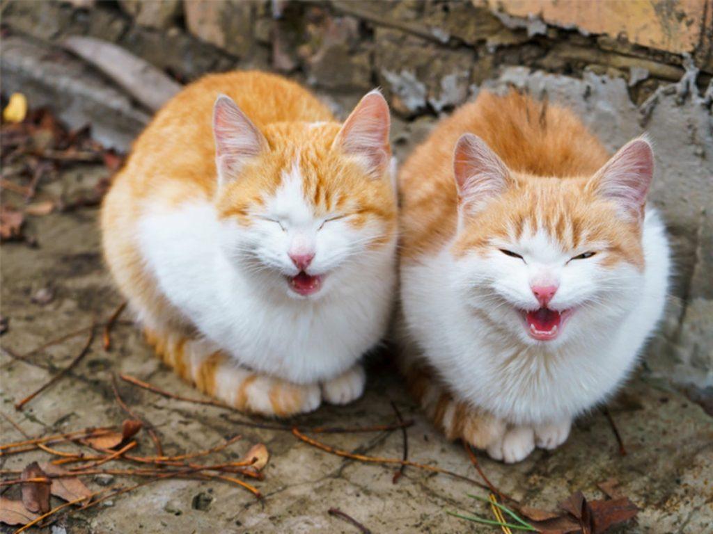 """Котки, които """"пеят"""" в синхрон"""
