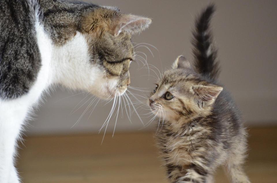 Две котки, на различна възраст, които се опознават