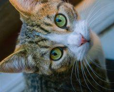 10-те Най-популярни Породи Котки