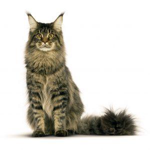 Котка Мейн Кун