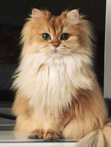 Прекрасен представител на персийска котка