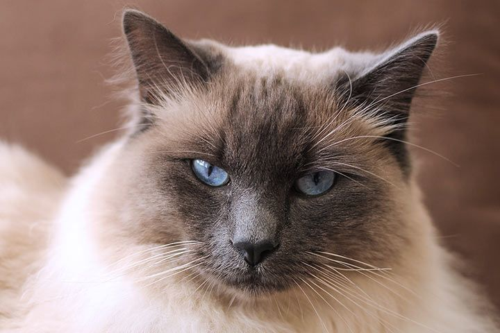 Прекрасен представител на балийска котка със сини очи