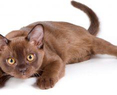 10-те Най-умни Породи Котки в Света – част 1