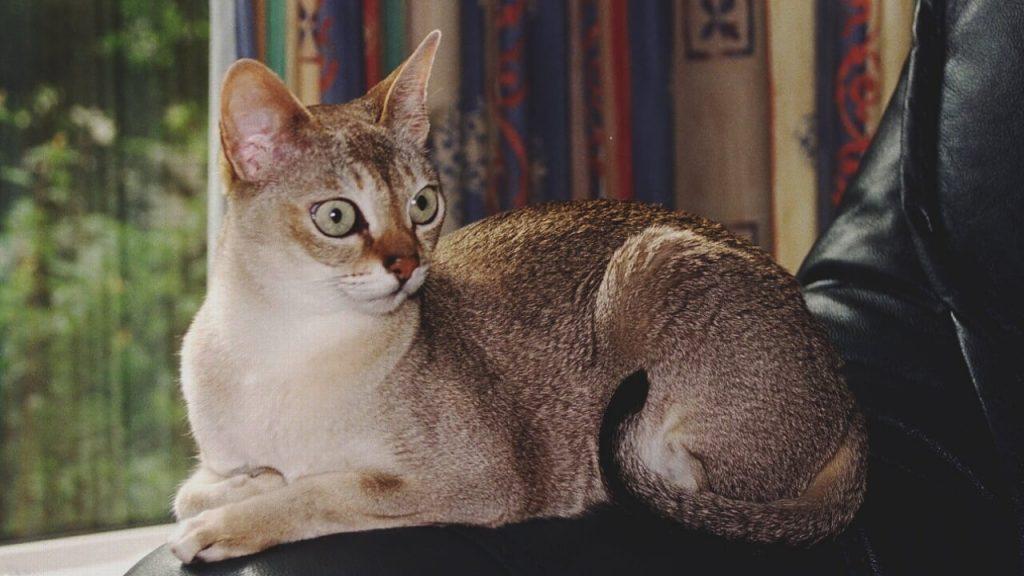 Сингапурска котка