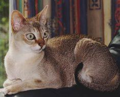 10-те Най-умни Породи Котки в Света – част 2