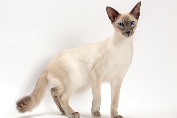Балийска котка