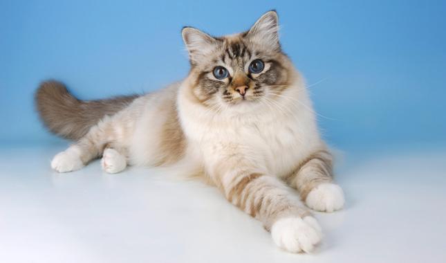 Прекрасна бирманска котка със сини очи