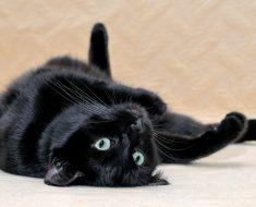 Котките, които живеят най-дълго
