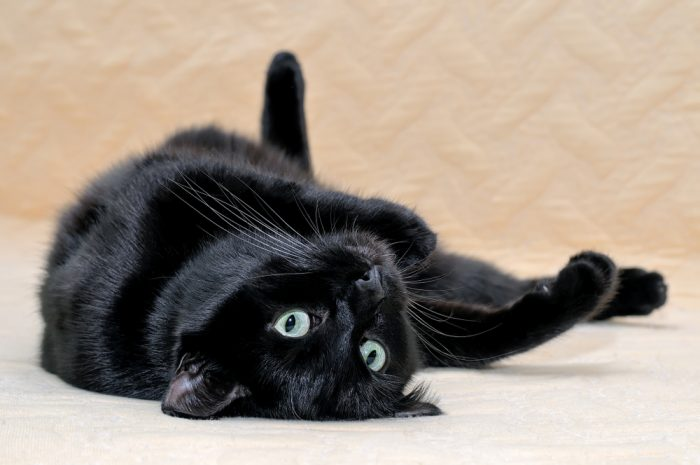 Черната перла - Бомбайската котка