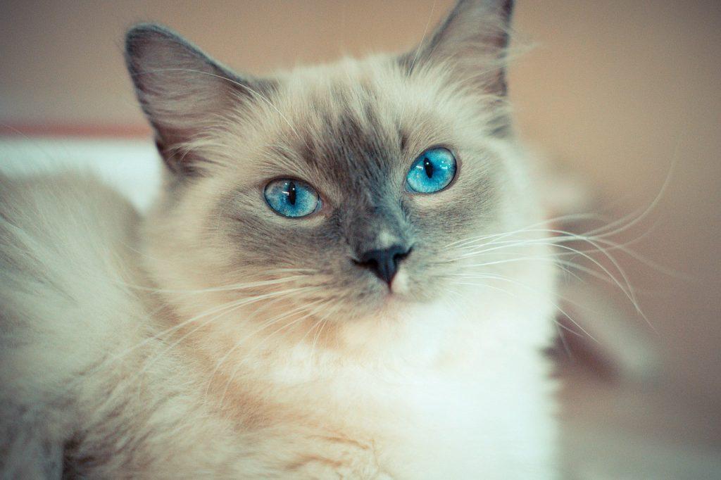Представител от порода котки Рагдол