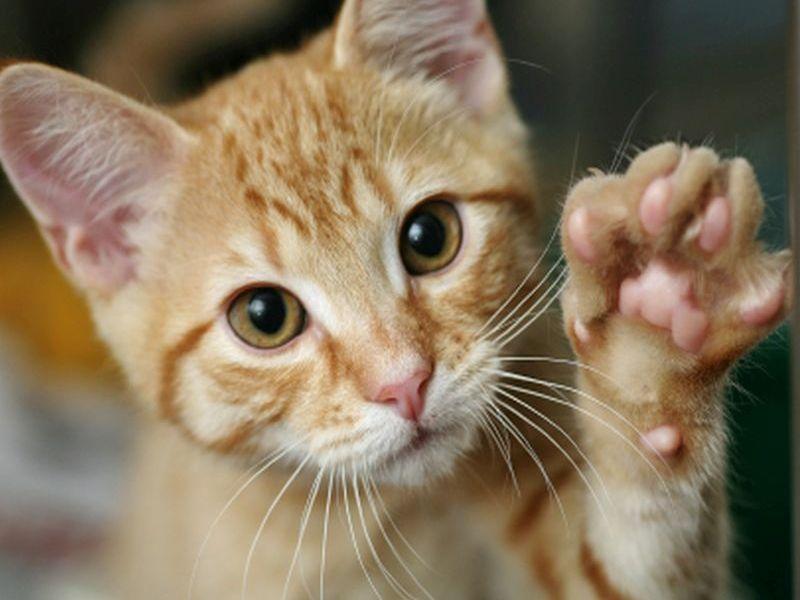 Коте, което си показва ноктите