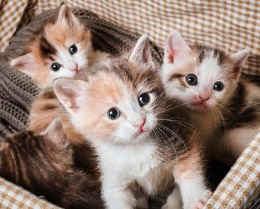 Колко Kотенца Mоже да Ражда Котката на Година?