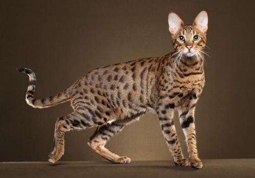 Колко дълго живее савана котката?