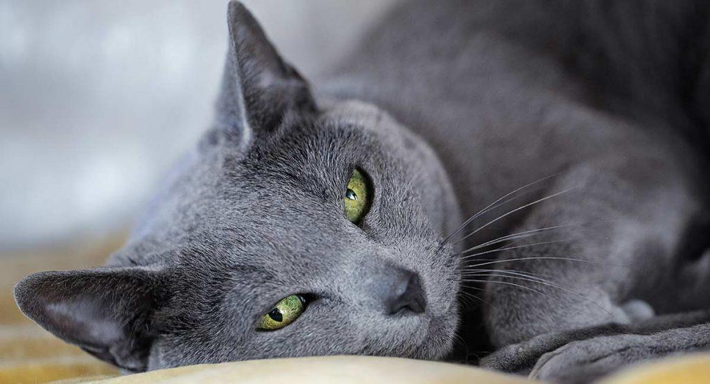 Прекрасната руска синя котка