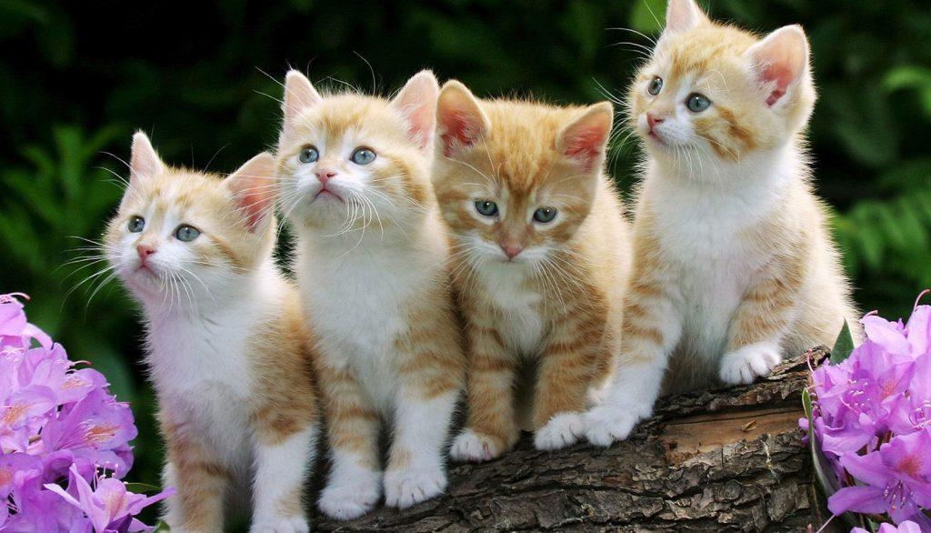 Четири рижави котешки бебета на дъннер