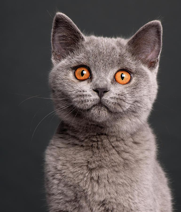 Сиво котенце, представител на породата британска късокосместа