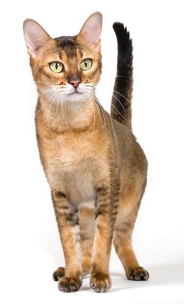 Прекрасна котка от породата Чаузи