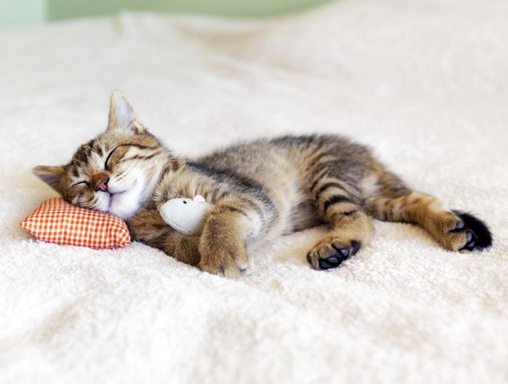 Малко спящо коте с рибка