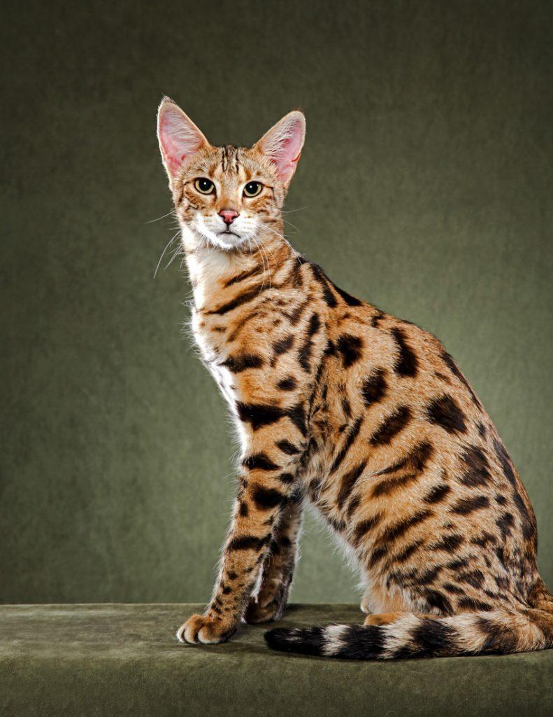 Котка Савана