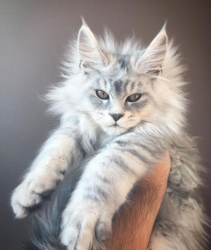 Бяло коте Мейн Кун