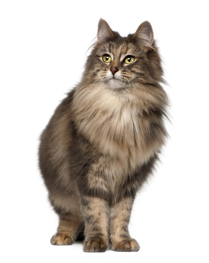 Норвежка горска котка
