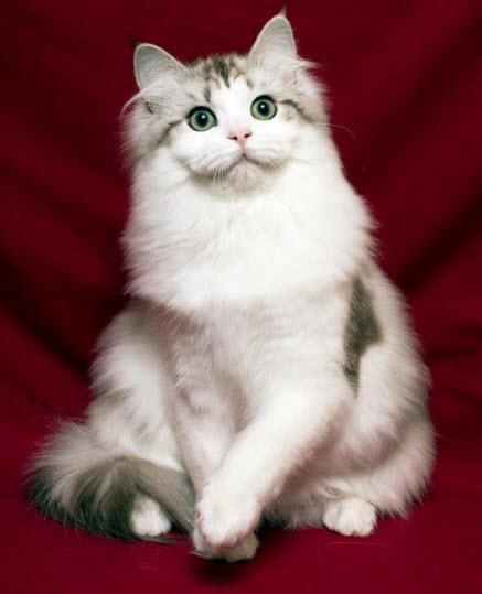 Коте от породата Рагамъфин, което е седнало на червено одеалце