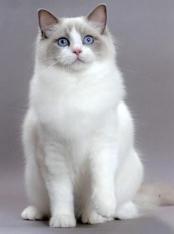 Коте от породата Рангдол