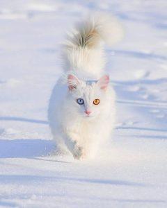 Бяла котка, представител на породата Турски ван