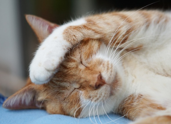 Рижава котка, която си покрива главата с лапичка