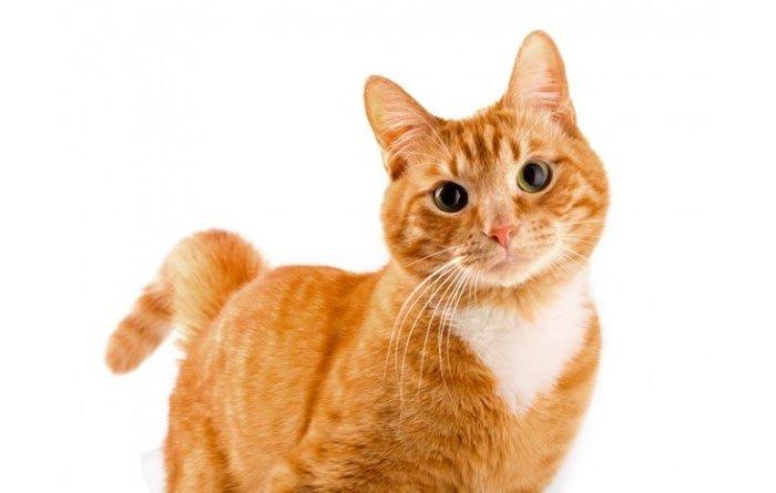 Рижава котка