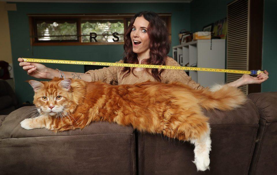 Една от най-големите домашни котки в света о0т порода Мейн кун със своята собственичка