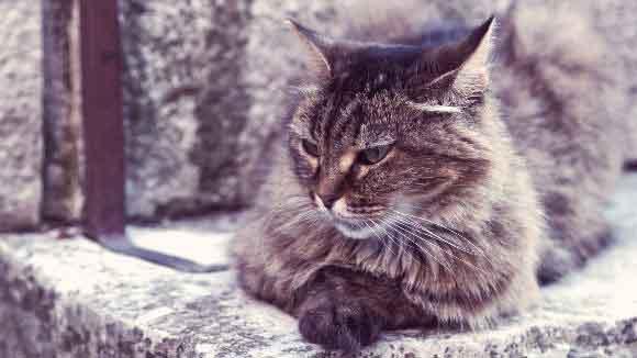 Възрастно котка, която лежи