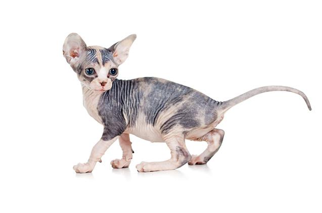 Донски сфинкс бебешко коте