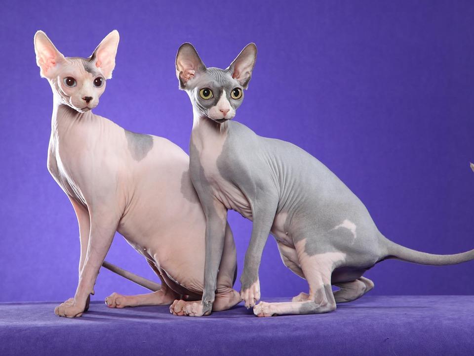 Две котки от породата Сфинкс