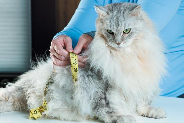 Бяло коте, което страда от диабет, на ежедневния преглед при ветеринар