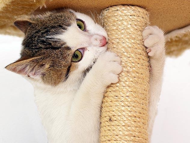 Котка, която си точи ноктите и зъбите върху драскалка.