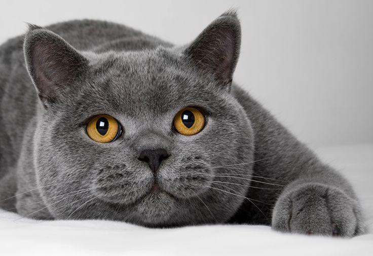 Синя британска късокосместа котка