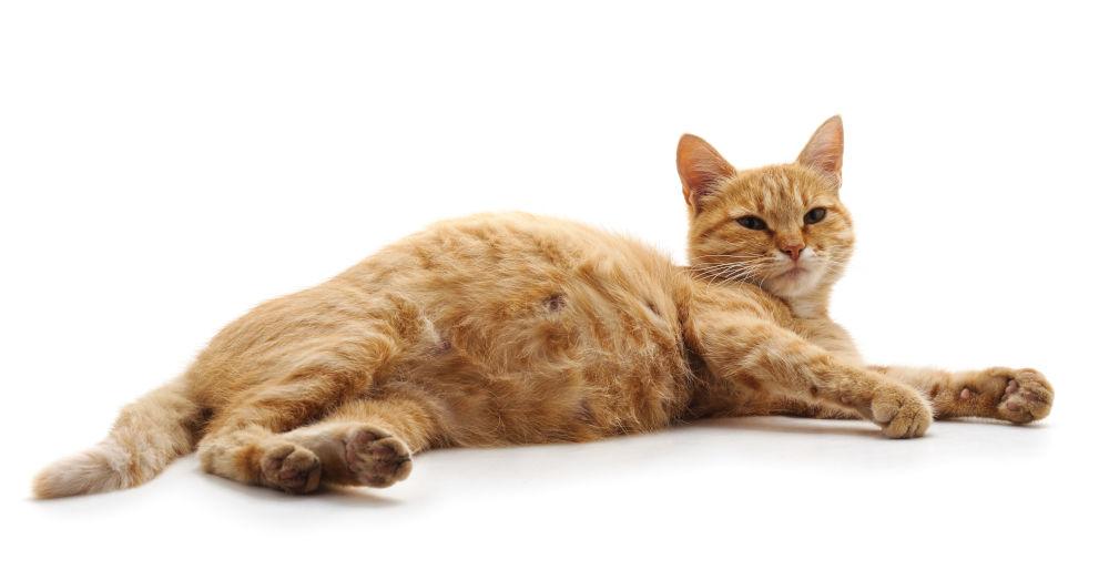Женска бременна котка, която лежи на бял фон.
