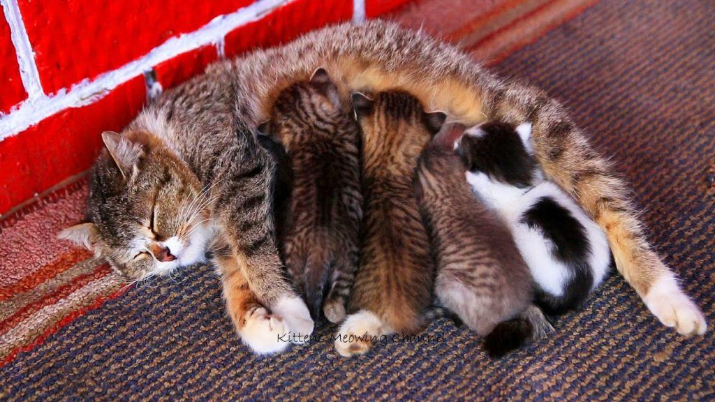 Майка котка, легнала на черже и кърми малките си.