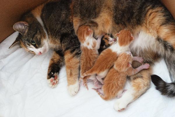 Майка котка, която храни малките си котенца