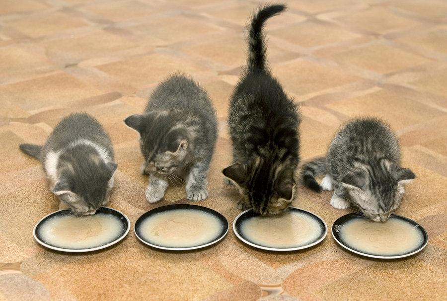 Четири малки котенца се захранвани с млечна каша